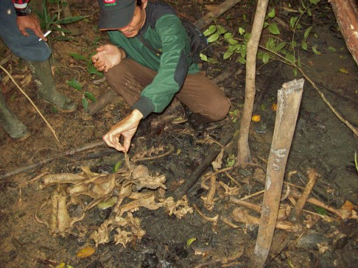 A team from the Zoological Society of London (ZSL) examine the bones of a tiger caught in a snare. CIFOR