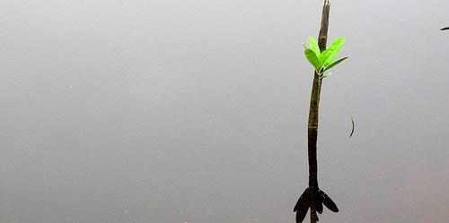 Ketika lahan gambut dan hutan bakau dikeringkan, diubah tata guna lahannya dan terbakar, terjadi pelepasan sejumlah besar cadangan karbon ke atmosfir, memberikan kontribusi terhadap perubahan iklim, ujar Daniel Murdiyarso, ilmuwan utama Pusat Penelitian Kehutanan Internasional. Sigit Deni Sasmito/CIFOR