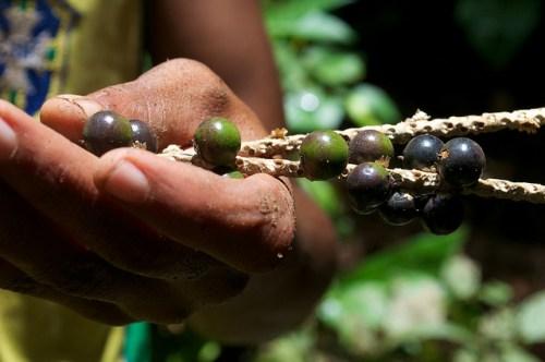 Frutos de asaí en los bosques de Brasil. Foto: Kate Evans/CIFOR
