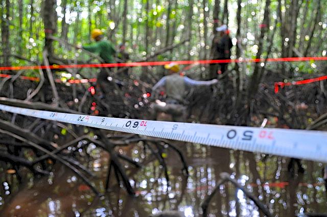 Peneliti mengukur simpanan kapasitas pohon hutan mangrove di Kubu raya, Kalimantan Barat. Bisakah ilmuwan juga mengukur kemajuan kebijakan? Photo @CIFOR.