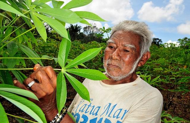 """Un agricultor de la Amazonia brasileña examina su cultivo de yuca. Encontrar el justo equilibrio de los instrumentos de política —de los incentivos """"zanahoria"""" a las sanciones """"garrote""""— sigue siendo un desafío para Brasil. Foto Neil Palmer/CIFOR"""