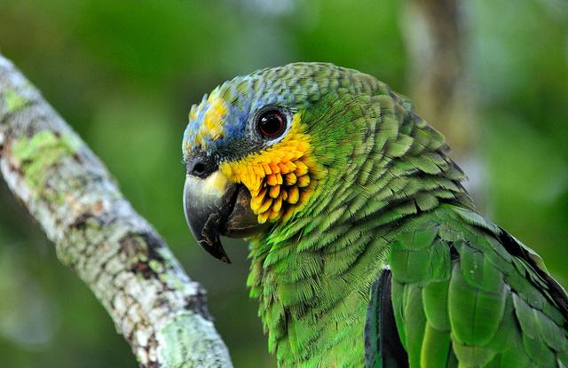 Burung nuri di Amazon, Brasil.   Foto: Neil Palmer/CIAT untuk Center for International Forestry Research (CIFOR).