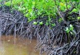 Mangrove forests on Lake Tabarisia.