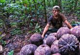Harvesting Brazil nuts in the Peruvian Amazon. Marco Simola/CIFOR photo.