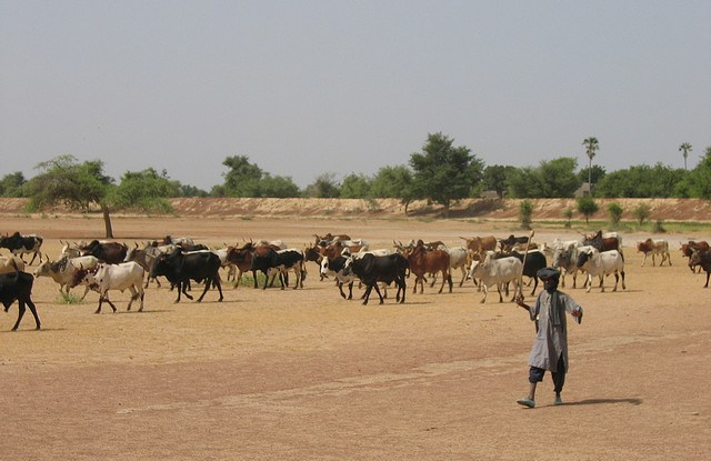 Herding cattle in Mali. Erwin Bolwidt