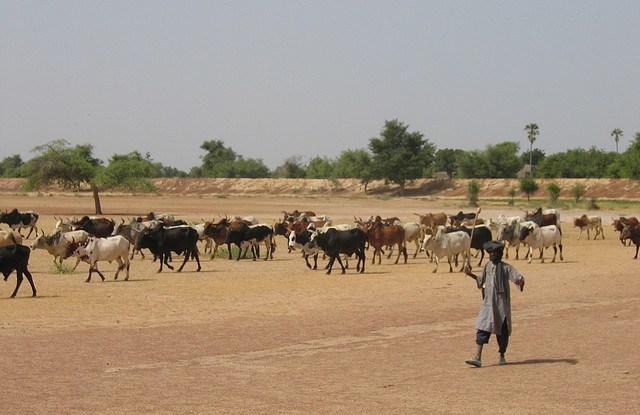 Herding cattle in Mali. Erwin Bolwidt