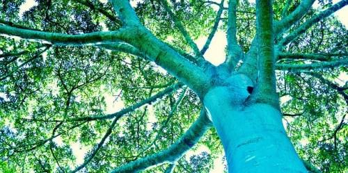 Pohon kapuk (Ceiba pentandra) di Mato Grosso, Brasil. Icaro Cooke Vieira/Foto CIFOR
