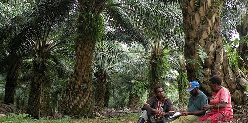 Perkebunan kelapa sawit di Papua. Penelitian CIFOR mengindikasikan bahwa kualitas hidup telah meningkat untuk banyak orang di Papua, tetapi setiap perluasan perkebunan perlu memperhitungkan berbagai kebutuhan masyarakat setempat.  Agus Adrianto/CIFOR