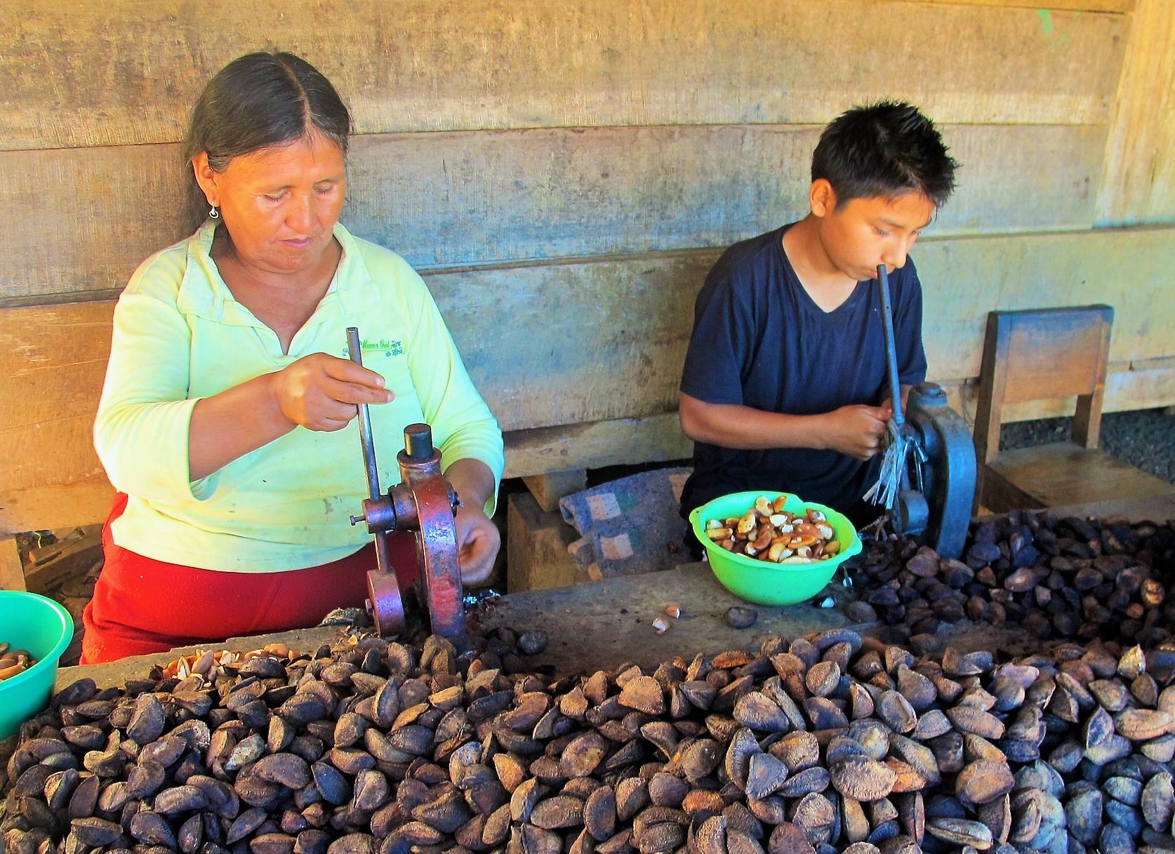 Simplificar la normativa de aprovechamiento de la castaña en Perú beneficiaría a todos los involucrados