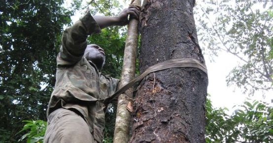 A farmer harvesting Prunus africana in Cameroon.  CIFOR