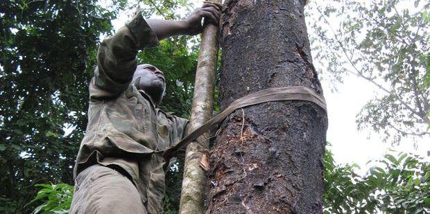 A farmer harvesting Prunus africana in Cameroon.  CIFOR