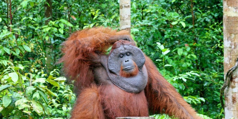 Everyone's problem: In Borneo, human-orangutan conflict occurs in both remote forested locations and more populated areas. Terry Sunderland/CIFOR