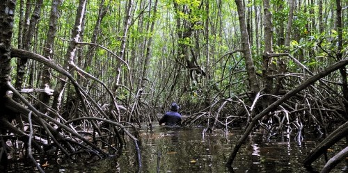 Indonesia has the fastest rate of mangrove destruction in the world - 40 percent of its mangroves have been lost in the last thirty years. CIFOR