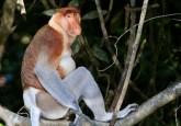 Berau, Kalimantan Timur memulai inisiatif pembangunan hijau dan menjadi subyek penelitian Pusat Penelitian Kehutanan Internasional (CIFOR). Wilayah ini merupakan tempat populasi orangutan terbesar di dunia, selain owa, bekantan, beruang berkalung dan lebih dari 80 tanaman langka. Foto bekantan dari wikipedia.