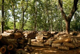 Tumpukan kayu jati di Jepara. Menjelang alih kewenangan pengelolaan hutan, perlu diperhatikan situasi dan kondisi dari masing-masing daerah.