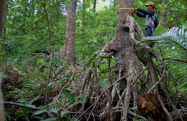 A forester measuring the amount of carbon stock in a mangrove tree in Indonesia.   Daniel Murdiyarso  CIFOR