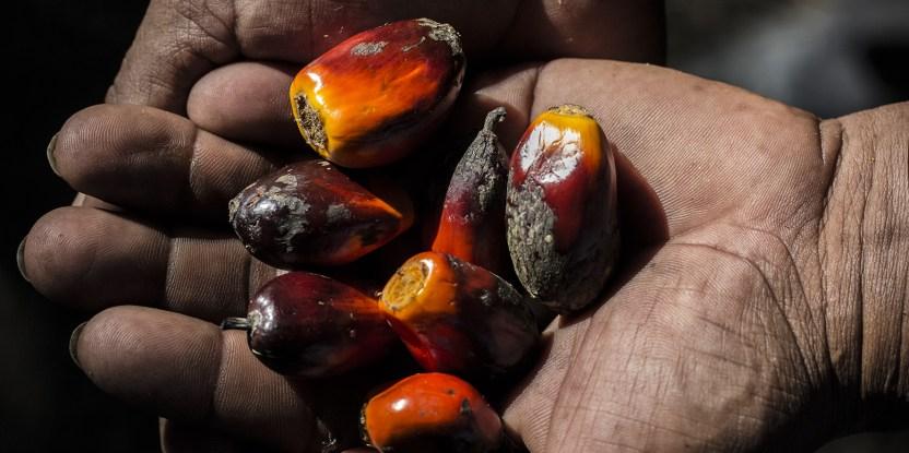 Las normas para la certificación del aceite de palma sostenible no siempre son accesibles para los pequeños productores.