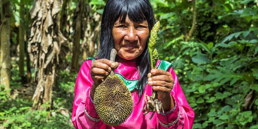 Doña Micaela Fachin from a shipibo community in the Peruvian Amazon shows breadfruit and wild ginger from her agroforestry system. Juan Carlos Huayllapuma/CIFOR