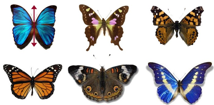 c- Un classico esempio di simmetria in natura: delle bellissime farfalle!