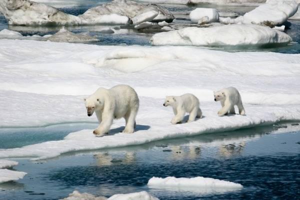 Northwestern Passage Polar Bears