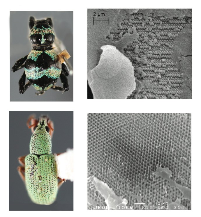 Nanostructures give beetles bling