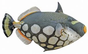 Common name: Clown Triggerfish. Scientific name: Balistoides conspicillum.