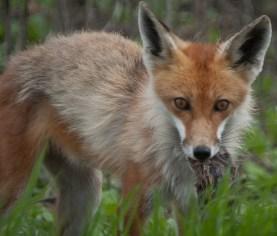 Foxes are predators of skinks. Image: Flickr / gm_pentaxfan