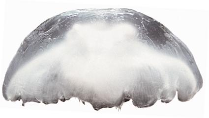 Common name: Moon Jellyfish. Scientific name: Aurelia aurita. Family: Ulmaridae.