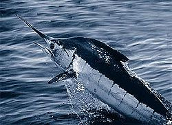 Common name: Blue Marlin. Scientific name: Makaira nigricans. Family: Istiophoridae.