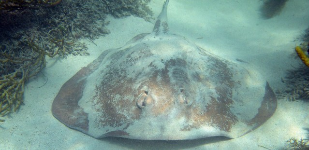 This eastern shovelnose stingaree was once unheard of in northern Tasmania. Now it is abundant. Image: Peter Last.