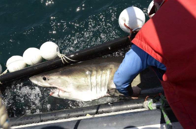 Tagging a 2.4 m juvenile white shark.