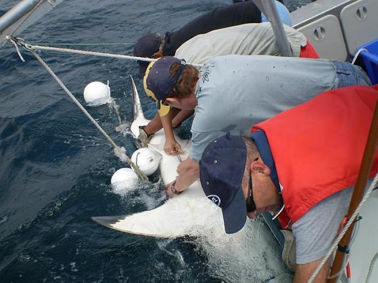 A white shark being tagged.