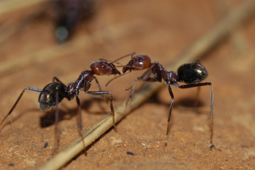 Two meat ants go head to head.