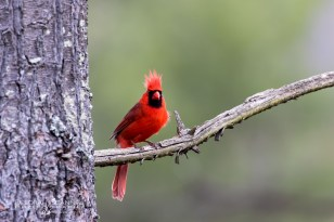 Male Cardinal OnThe Watch