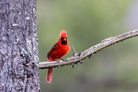 Male Cardinal OnThe Watch