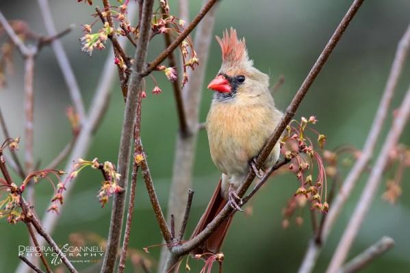 Springtime Femal Cardinal