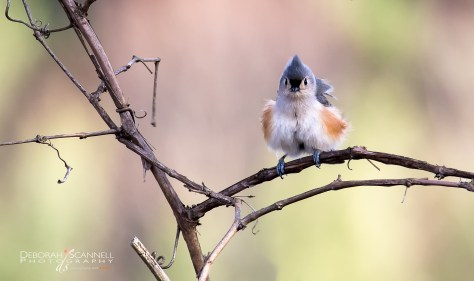 Tufted Titmouse fluffed