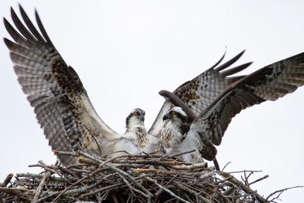 Osprey Grand Arrival