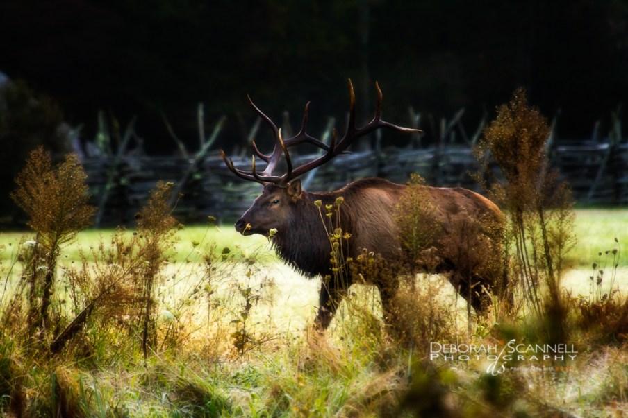 6x6 Bull Elk-1