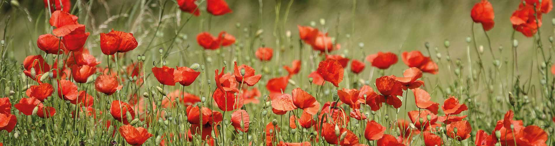 Blog_SpringFlowers_Poppies_1900x500_Q120