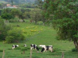 chacara-cows.jpg