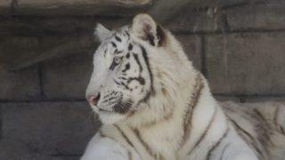 白虎と狛犬。~ 期間限定ワーク ~