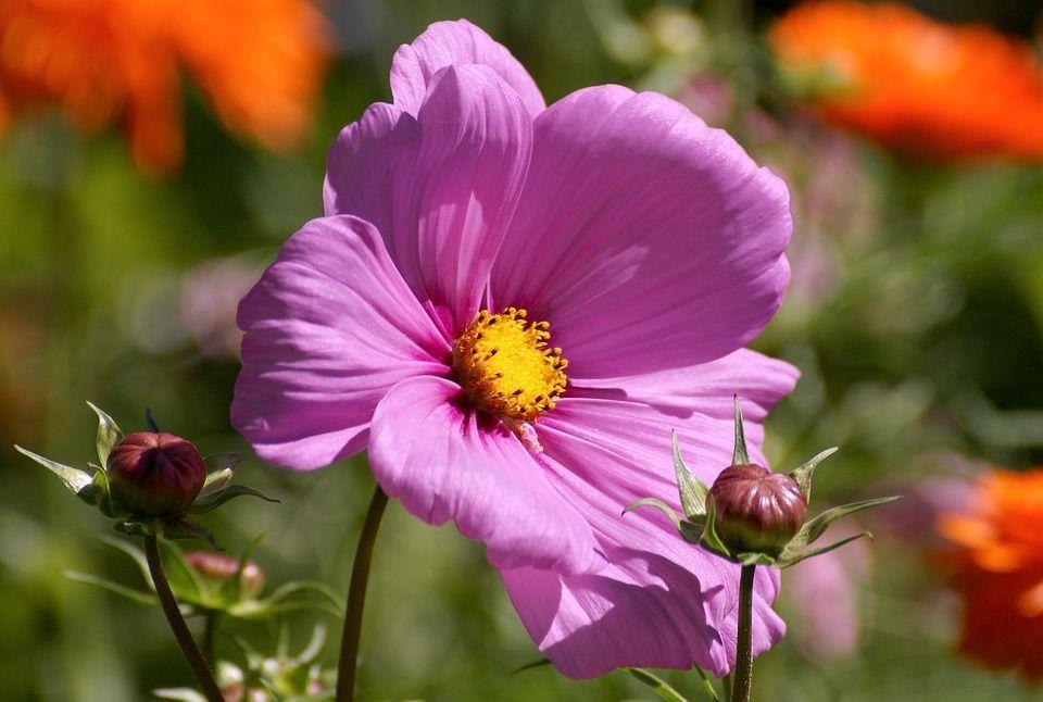 Cosmos una planta ornamental maravillosa for Una planta ornamental