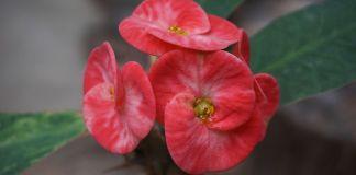 corona-de-cristo-flor-espinas