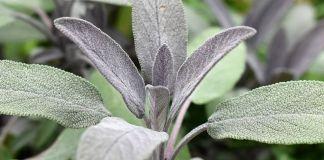 plantas-vivaces-hojas-gris