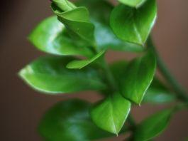 Zamioculca planta interior
