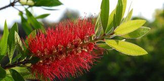 Callistemon citrinus arbusto