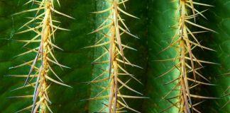 Cuidado cactus