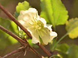 Clematis cirrhosa flor