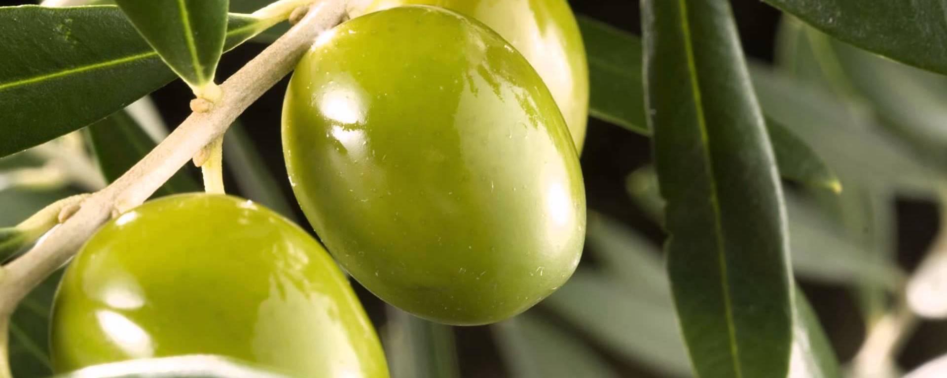 olivas
